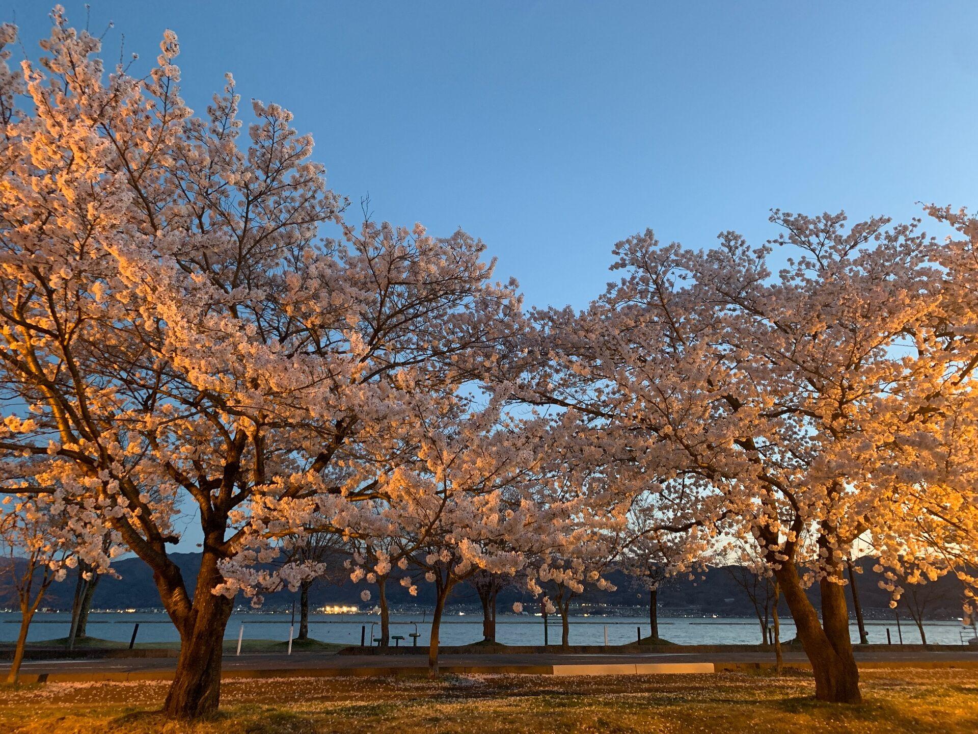 諏訪湖周辺の桜が満開でした | セミナーやサービスに関する情報を公開 ...